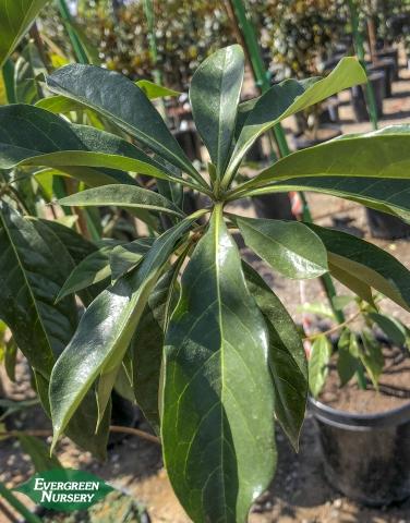 Hymenosporum flavum Sweetshade leaf