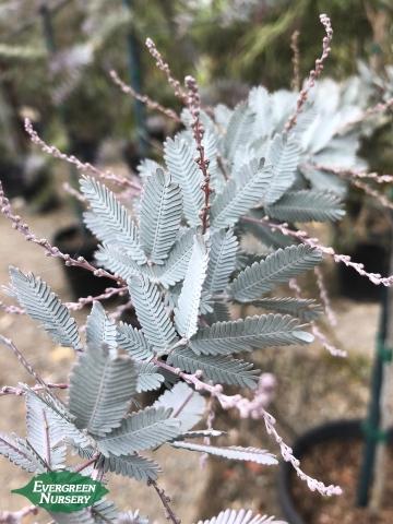 Acacia baileyana purpurea Purple Fernleaf