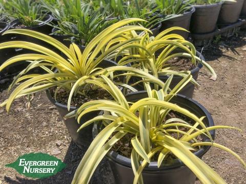 Agapanthus africanus Summer Gold