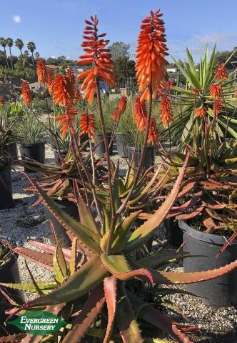 Aloe cameronii