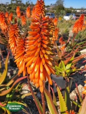 Aloe cameronii flower