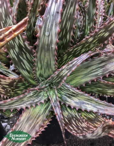 Aloe harlana