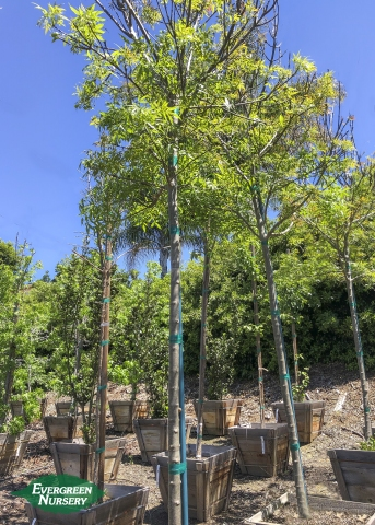 Fraxinus velutina Arizona Ash