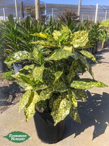 Aucuba japonica Gold Dust
