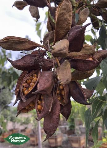Bottle Tree Seedpods
