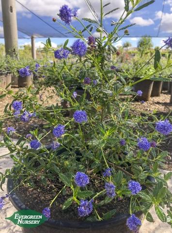 California Lilac Ceanothus Concha