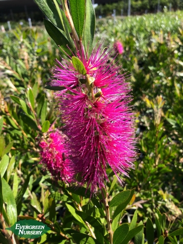 Callistemon 'Jeffersii' Purple Bottlebrush