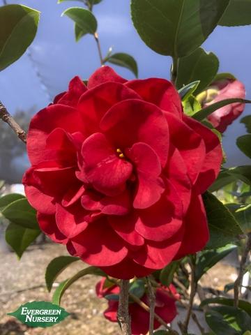 Camellia japonica Colonel Firey