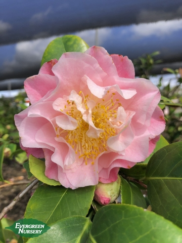 Nuccio's Jewel Camellia