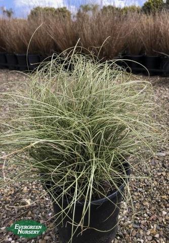 Carex Frosty Curls