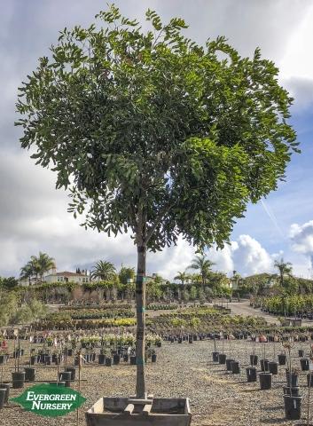 Carrotwood Tree