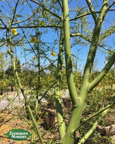 Cercidium 'Desert Museum' branches