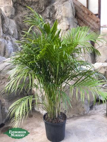 Cat Palm Chamaedorea cataractarum