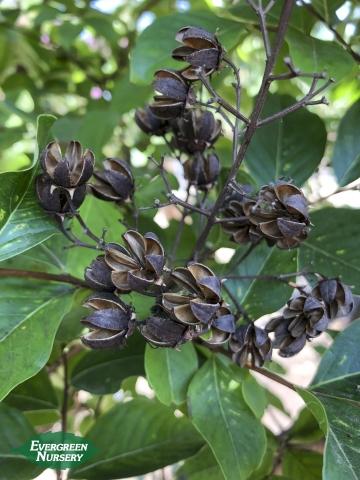 Crape Myrtle seedpods