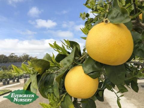 Texas Star Grapefruit