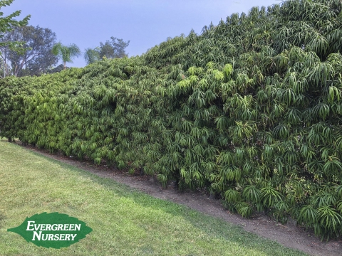 Podocarpus henkelii Hedge