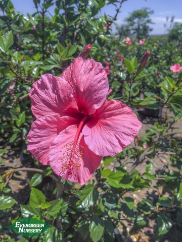 Hibiscus rosa sinensis pink