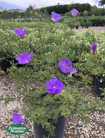 Alyogyne Hibiscus Blue