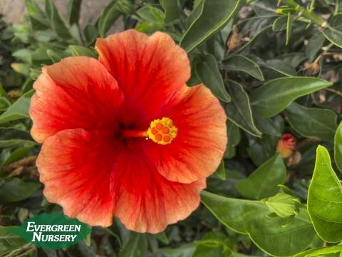 Santana Hibiscus