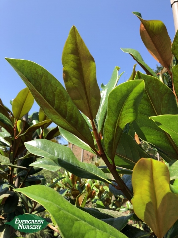 magnolia kay parris branch