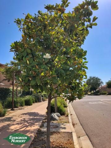 Magnolia Kay Parris tree