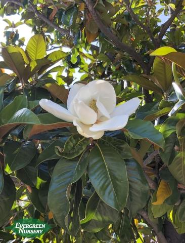 Magnolia flower on tree