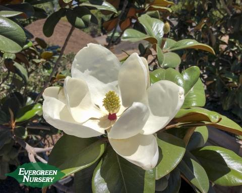 Teddy Bear Southern Magnolia