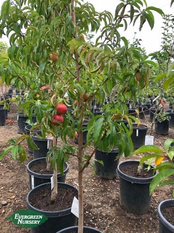 Fantasia Nectarine fruit tree