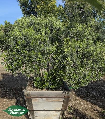 Little Ollie Olive tree