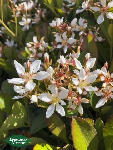 Rhaphiolepis 'Clara'