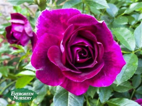 rose burgundy iceberg