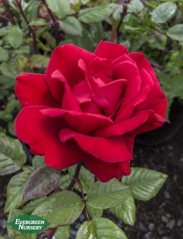 Rose Crimson Bouquet