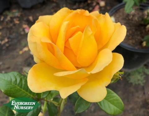 Rose Gold Struck
