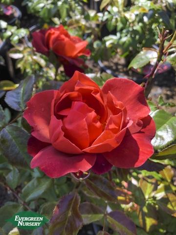 Rose Hot Cocoa
