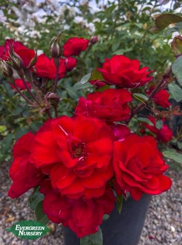 Red Iceberg Roses