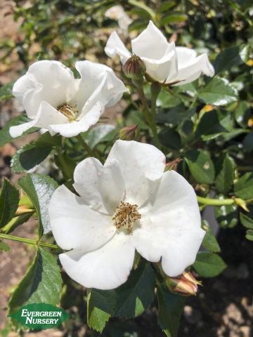 Rose Meidiland White