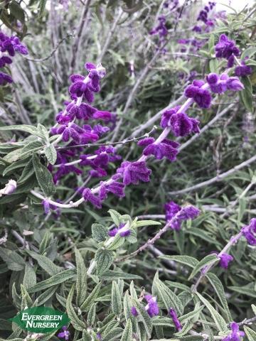 Salvia leucantha Mexican Sage