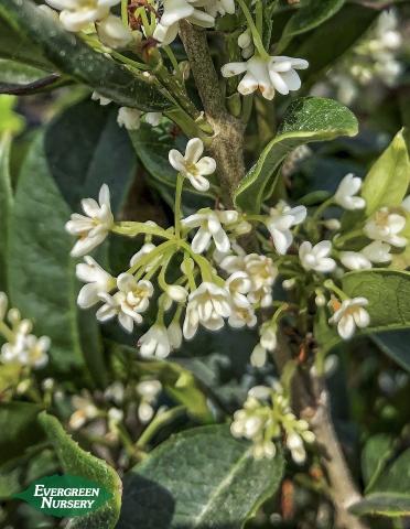 sweet olive osmanthus frangrans