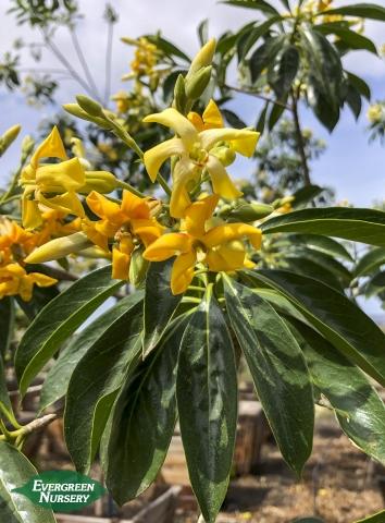 Sweetshade Hymenosporum flavum