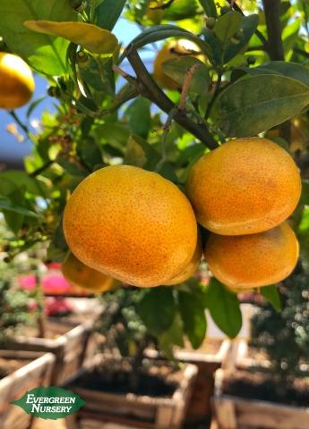 Tango Mandarin on branch