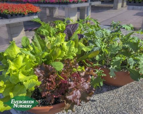 Lettuce planter