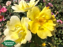 Knock Out Rose Yellow