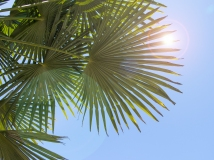 Sun through palm fronds