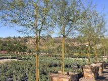 Cercidium 'Desert Museum' Palo Verde