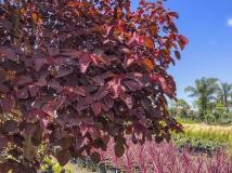 Caribbean Copper Plant Euphorbia cotinifolia
