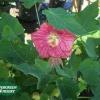 Abutilon hybridum