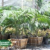 Howea forsterana - Kentia Palm, Paradise Palm