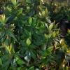 Abelia grandiflora 'Sherwoodii'