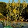 Acacia cultriformis