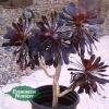 Aeonium arboreum 'Zwartkop' - Black Aeonium